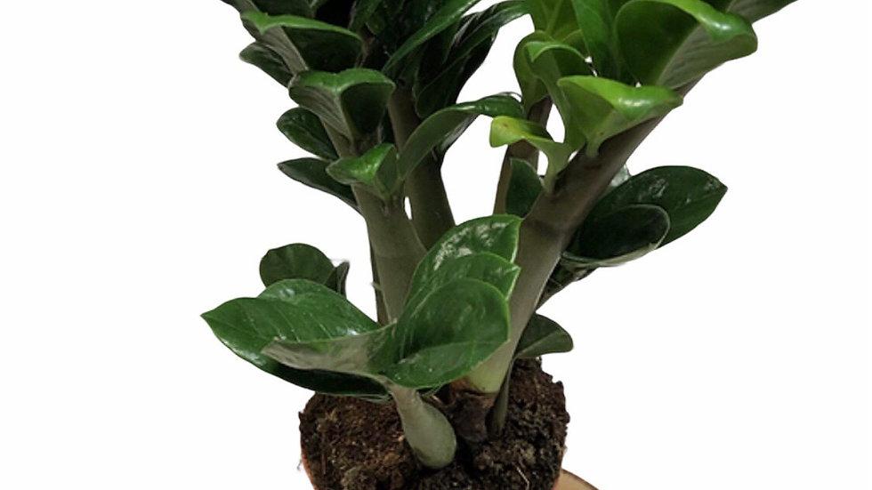 ZZ Zamioculcas Plant