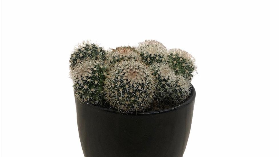 Silver Ball Cactus in Black Pot