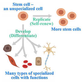 Stem cells.png