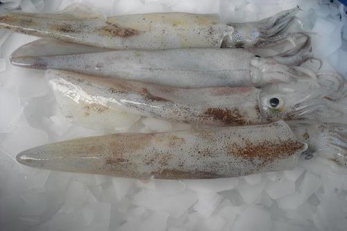 Calamar Lóligo (Gahi)