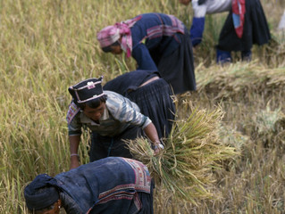 The Coming Harvest in Yunnan
