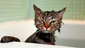 Gatos e banhos definitivamente não combinam  especialista explica o ... 81b6fb763e27