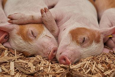 Sleeping pigs - Roy Buri