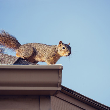Squirrel on house NWHRBC