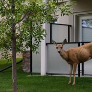 Deer in backyard NWBRHC
