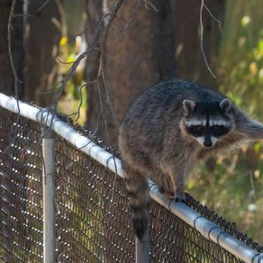 Raccoon NWBRHC
