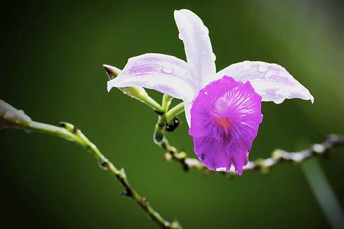 Orchid in Raja Ampat.jpg
