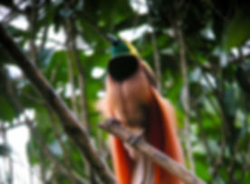 Raggiana_Bird-of-Paradise_wild_5.jpg