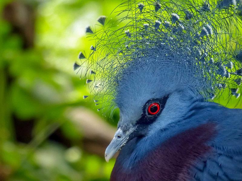Western Crowned Pigeon in Raja Ampat.jpg