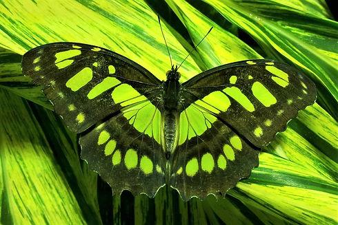Butterfly Raja Ampat.jpg