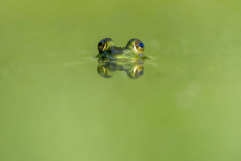 Frog in Raja Ampat.jpg