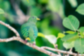 Fruit Dove Raja Ampat.jpg