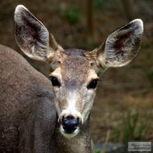Deer_4685_for_FAA_8_2012.jpg