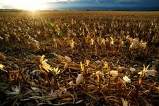 Corn field late Fall24x36.jpg