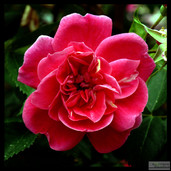 Very_red_rose_9_212015_for_WW.jpg
