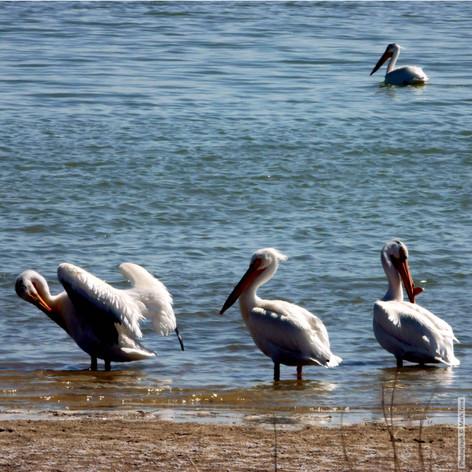 Pelicans Spring 5_3 2019_0318.jpg