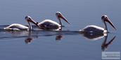 3_Pelicans.jpg