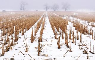 Corn in Winter 2016 3439.jpg