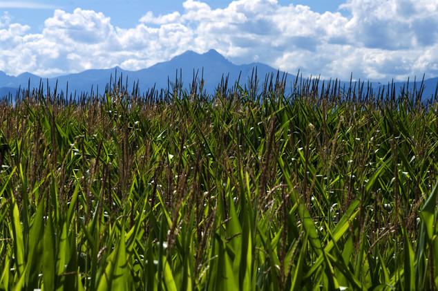 Corn in Summer.jpg