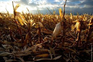 Corn 7 121662.jpg