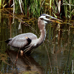 Gray Heron with Fish 5669.jpg