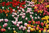 Longmont_Tulips_2016_3967(1).jpg