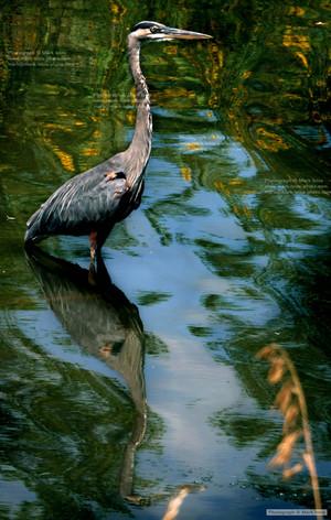 Heron Golden Ponds 9 3 2019 94.jpg