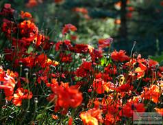 Red_Poppies.jpg