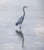 Gray Heron.jpg