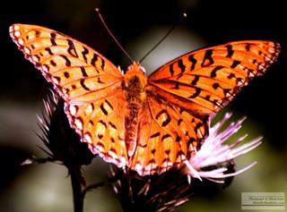 butterfly_7_2016_0603.jpg