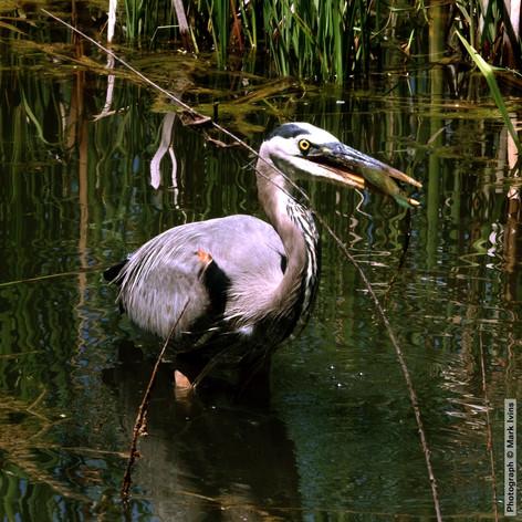 Gray Heron with Fish 5668.jpg