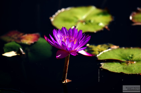 Lavinder_Water_Lilly_2016_505.jpg