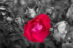 Rose_for_Hope.jpg