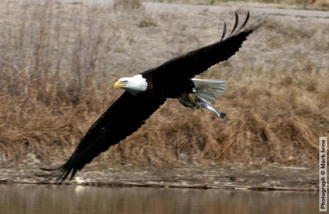 Eagle with Fish 3 28 2020 4849.jpg