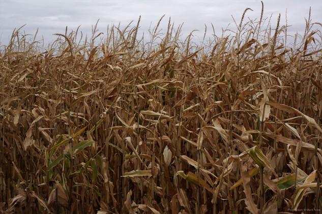 Harvest of Drought 2012.jpg