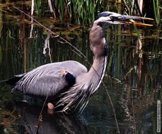 Gray Heron with Fish 5670.jpg