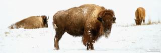 Buffalo_or_Bison_20x60.jpg