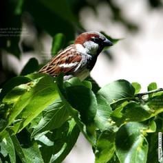 English Sparrow Male 6 2019 017.jpg