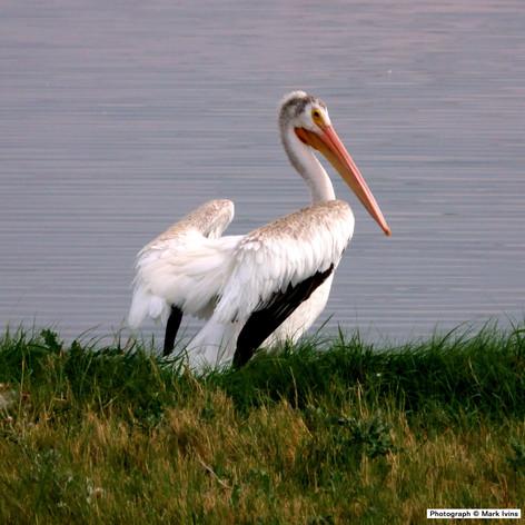 Pelican 8 24 2019 2499.jpg