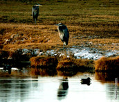 Great Blue Herons and a Duck 3948.jpg