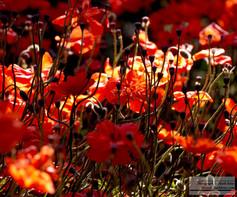 Red_Poppies_2.jpg