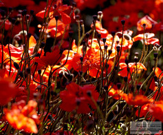 Red_Poppies_2.jpg