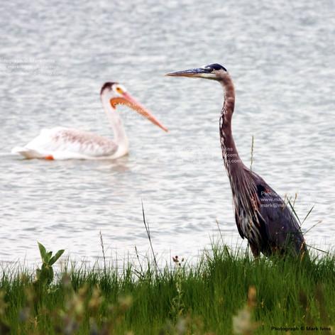 Gray Heron & Pelican 983.jpg