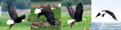 Bald_Eagle_with_lunch.jpg