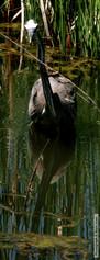 Gray Heron with Fish 5660.jpg