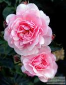 Pink_Roses_10_2015_3173.jpg