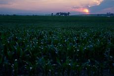 Corn Sunset 6 30 2012.jpg