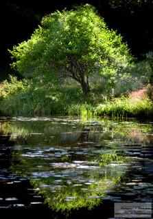 Tree_&_Pond.jpg