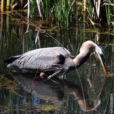 Gray Heron with Fish 5672.jpg