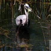 Gray Heron with Fish 5665.jpg